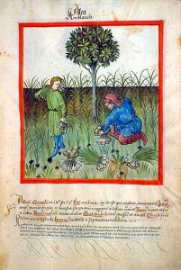 Harvesting garlic, from Tacuinum sanitatis, 15th century (Bibliothèque nationale)